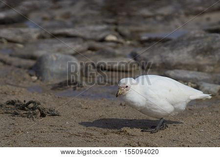 Pale-faced Sheathbill (Chionis albus) walking along the coast of Carcass Island in the Falkland Islands.
