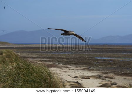 Southern Giant Petrel (Macronectes giganteus) in flight over tussock grass and Southern Elephant Seals along the coast of Carcass Island in the Falkland Islands.
