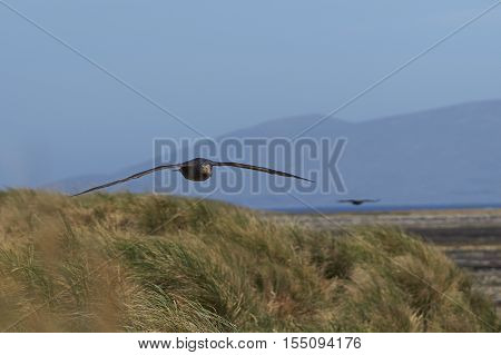 Northern Giant Petrel (Macronectes halli) in flight over tussock grass along the coast of Carcass Island in the Falkland Islands.