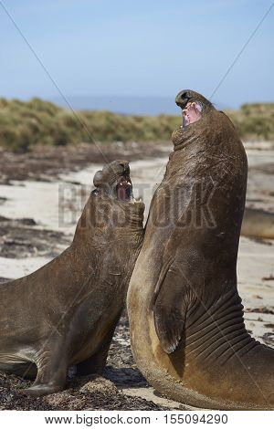 Male Southern Elephant Seals (Mirounga leonina) fighting during the breeding season on Carcass Island in the Falkland Islands.