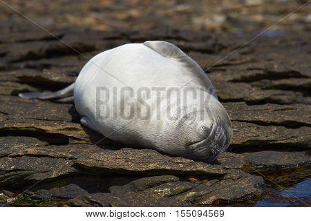 Southern Elephant Seal (Mirounga leonina) pup sleeping on rocks on the coast of Carcass Island in the Falkland Islands.