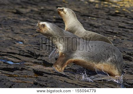 Southern Sea Lion (Otaria flavescens) on the coast of Carcass Island in the Falkland Islands.