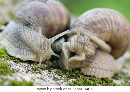 edible snail in grass