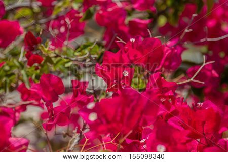 Blooming bougainvillea flowers in Agia Irini Monastery Crete Greece. Bougainvillea is a genus of thorny ornamental vines bushes and trees with flower-like spring leaves near its flowers.