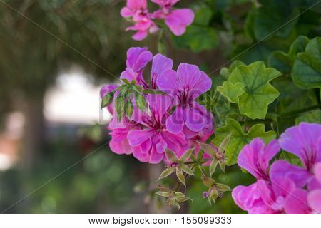 Purple Geranium flowers in Agia Irini Monastery Greece. Geranium is a genus of 422 species of flowering annual biennial and perennial plants that are commonly known as the cranesbills.