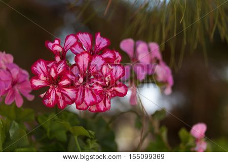 Pink Geranium flowers in Agia Irini Monastery Crete Greece. Geranium is a genus of 422 species of flowering annual biennial and perennial plants that are commonly known as the cranesbills.