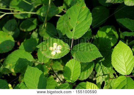 The leaves of dewberry ,bramble with a print of a flower on them background