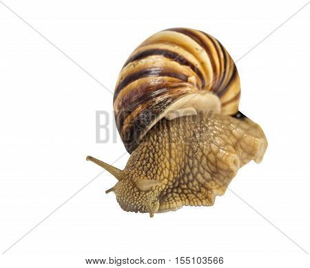 the large beautiful snail on white background
