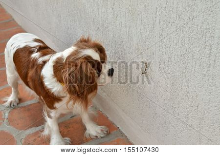 Lovely curious dog Cavalier King Charles Spaniel watching a mating of two big mosquitoes on the wall