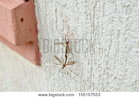 Two big mosquitoes mating on a wall