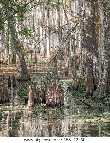 Cypress trees and cypress knees in the swamp