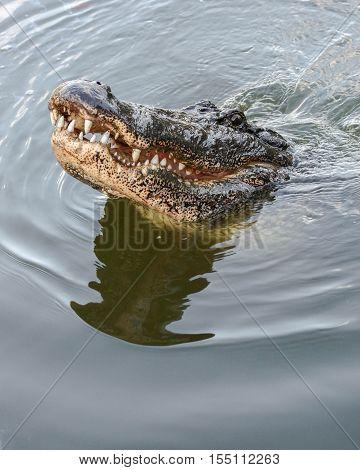 A twelve foot alligator lurking in the swamp