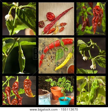 Collage of hot peppers. Advertising chili sale. Different kinds of chili.