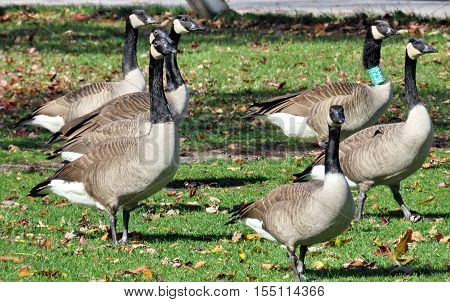Canada Geese on bank of the Lake Ontario in Toronto Canada November 4 2016