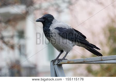 Hooded crow sitting on the fence. Birds