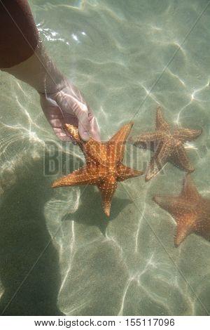 Underwater starfish, Oreaster reticulatus, over massive starlet coral in the Caribbean sea