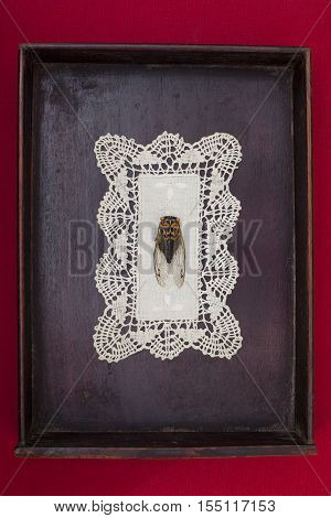 Cicada on lace doily in wooden box