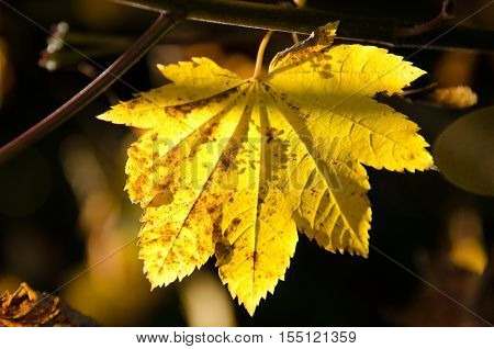 Yellow Maple Leaf In Shadows Highlighted By A Sun Ray