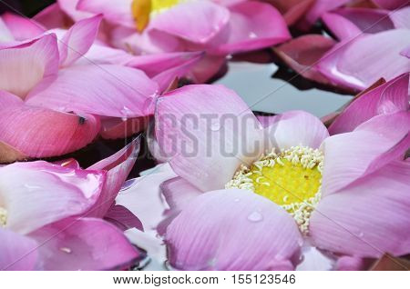 Blossom Lotus Flowers In Water Pond