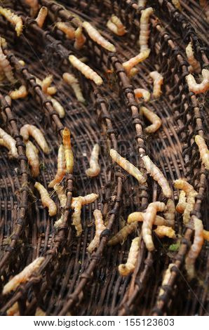 Silkworms In Silk Farm, Siem Reap