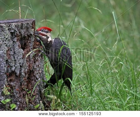 A Pileated Woodpecker (Dryocopus pileatus) hammering on a tree stump. Shot on Gabriola Island British Columbi Canada.