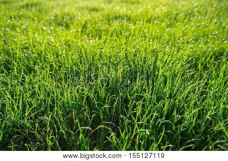 Green grass effect back-lit defocused deep green to light