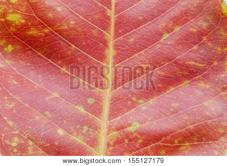 red dried leave in autumn on background frame