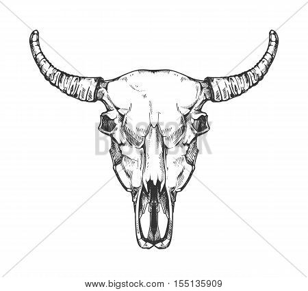 Vintage buffalo skull vector sketch. Bull animal head bones in hand drawn style. Cow head with horn illustration