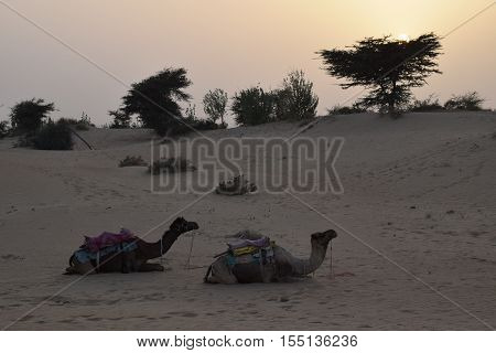Sunset with two camels in Thar desert near Jaisalmer, Rajasthan, India