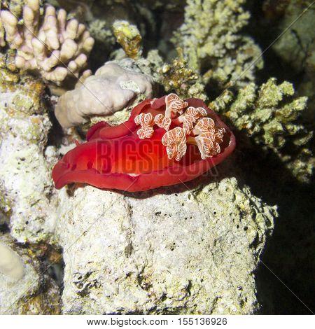 Red sea slug Spanish Dancer in tropical sea underwater