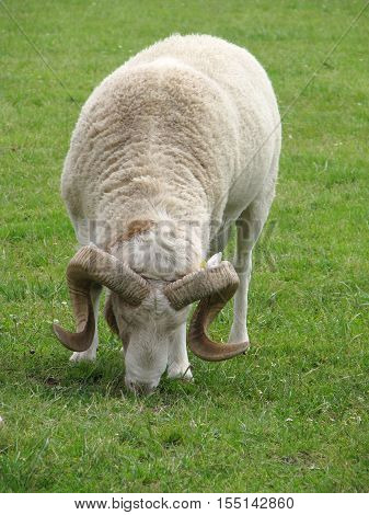 Farm animal. Horny ram on the pasture