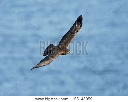 Common buzzard (Buteo buteo) in flight with blue water in the background
