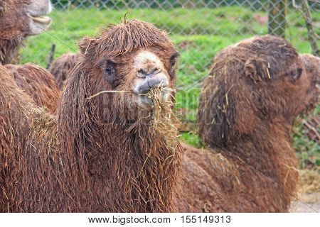 close up of Bactrian Camel chewing on hay