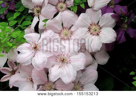 A group of beautiful Clematis pink fantasy flowers