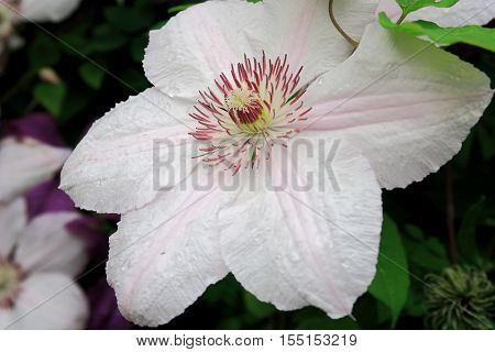 Close up of a beautiful Clematis pink fantasy flower