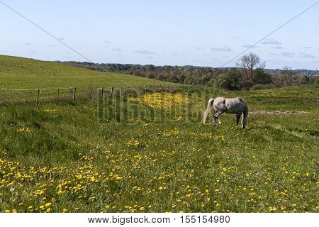 Grazing horse in a field with dandelions