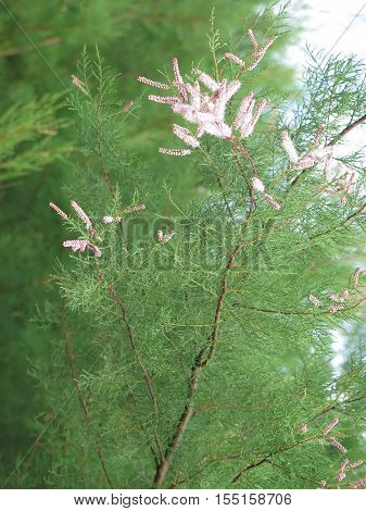 Seeds On Fir Type Plant