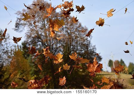 The falling leaves of a maple tree. Leaves.