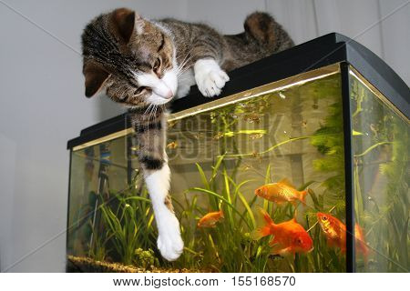 Cat playing with goldfish in an aquarium
