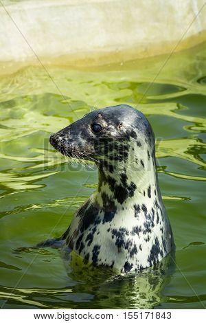Seal fur seals in the sea in summer