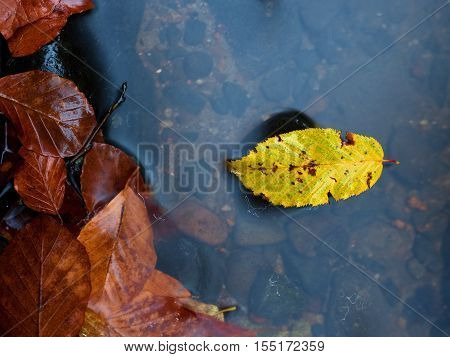 Autumn Colors.  Death Beech  Yellow Leaf Caught  In Cold Water. S