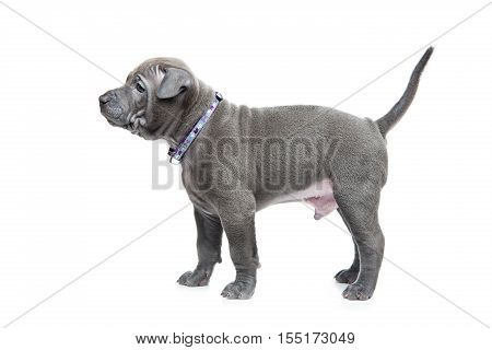 One month old thai ridgeback puppy dog in purple collar standing. Isolated on white. Copy space.