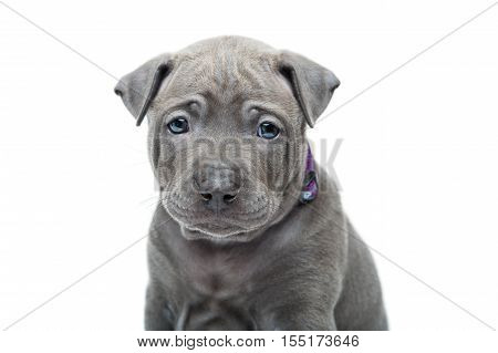 One month old thai ridgeback puppy dog in purple collar sitting. Close-up portrait isolated on white. Copy space.