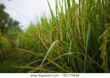 rice field. rice field farm. rice. rice field. rice field farm. rice.