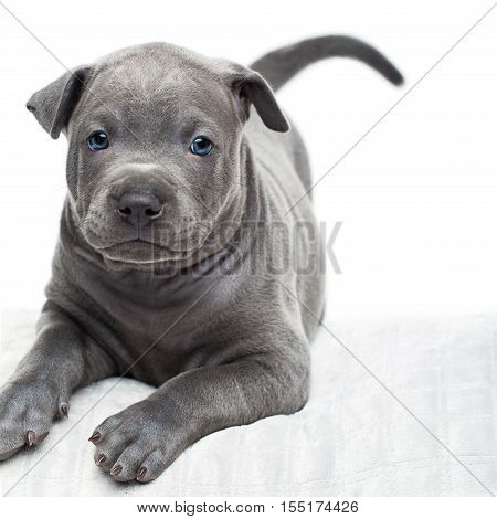 One month old thai ridgeback puppy dog lying on pillow and looking up Isolated on white. Copy space.