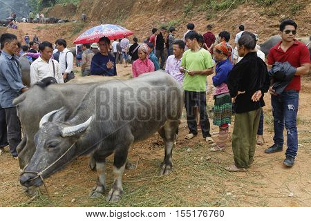 Coc Ly, Vietnam, October 25, 2016 : Farmers Sell Cattle Of The Tuesday Market Of Coc Ly, A Small Vil