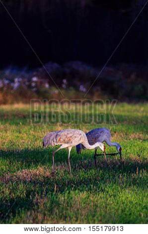 Two Sandhill Cranes eating late in the day.