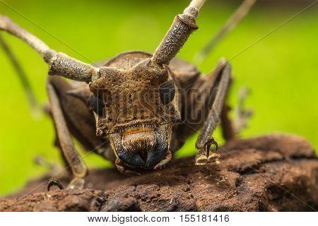 Longhorn Beetle (paraleprodera Inidiosa), Beetle
