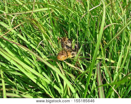 A fox snake peers through the grass.