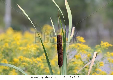 Cattails in a country roadside ditch in eastern Ontario